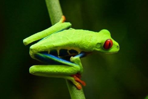 Costa Rica tree frog near La Fortuna,
